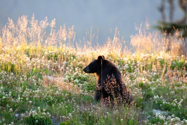 bear cub sunset
